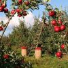 FARs: the new smart fruit pickers